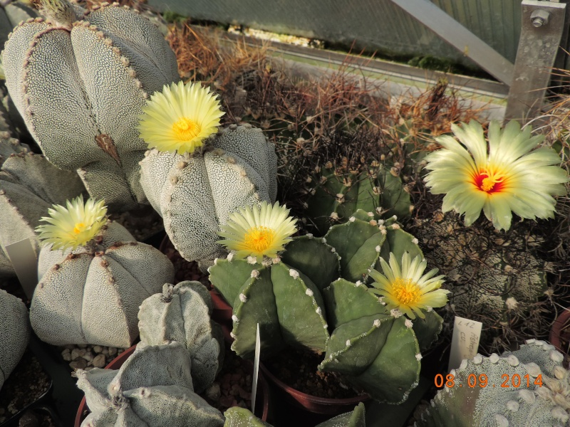 Cacti and Sukkulent in Köln, every day new flowers in the greenhouse Part 106 Bild1411