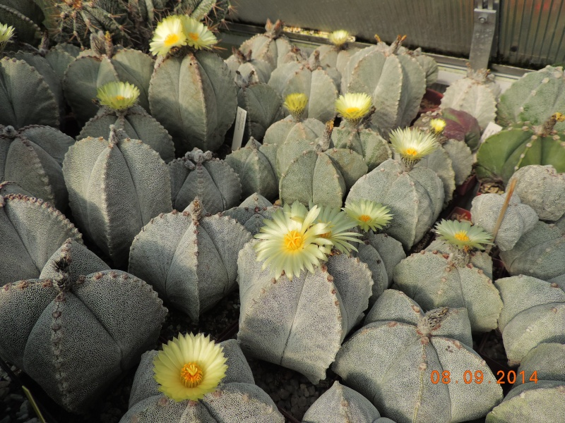 Cacti and Sukkulent in Köln, every day new flowers in the greenhouse Part 106 Bild1412