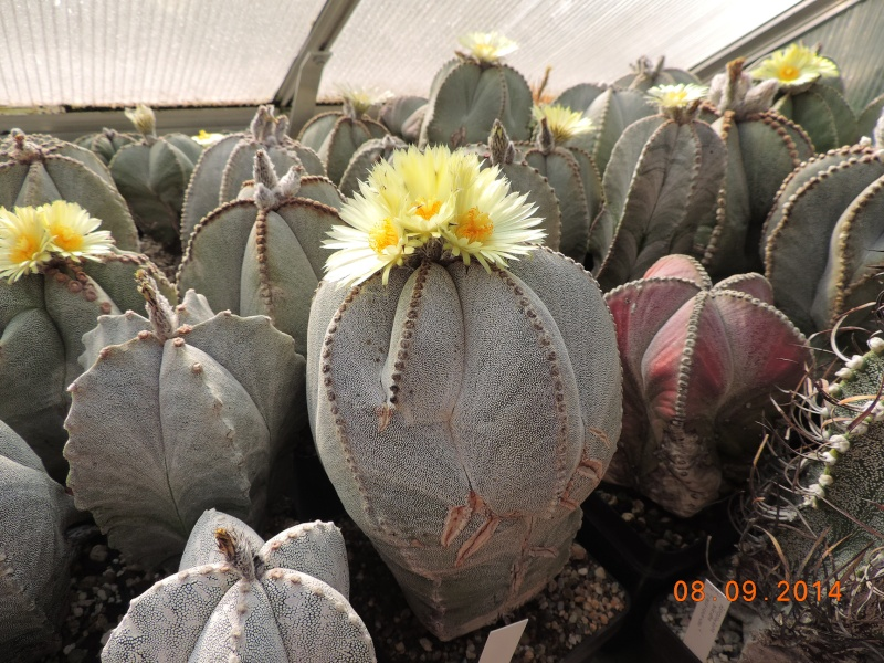 Cacti and Sukkulent in Köln, every day new flowers in the greenhouse Part 106 Bild1414