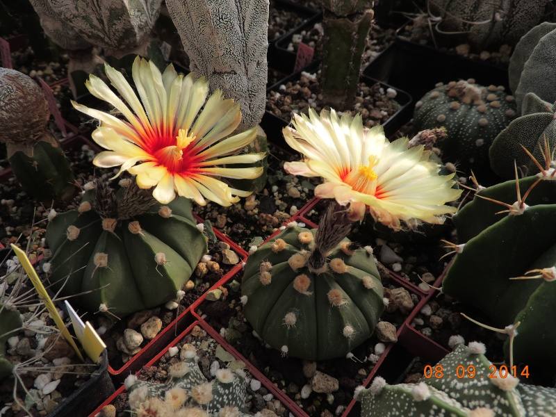 Cacti and Sukkulent in Köln, every day new flowers in the greenhouse Part 106 Bild1415
