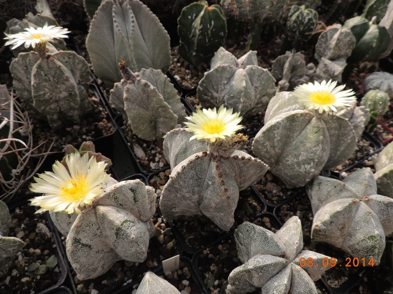 Cacti and Sukkulent in Köln, every day new flowers in the greenhouse Part 106 Bild1416