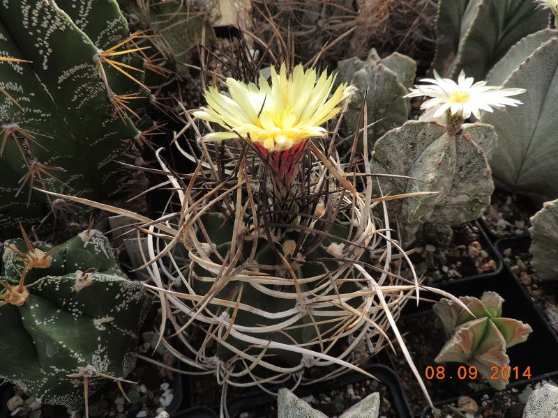 Cacti and Sukkulent in Köln, every day new flowers in the greenhouse Part 106 Bild1417