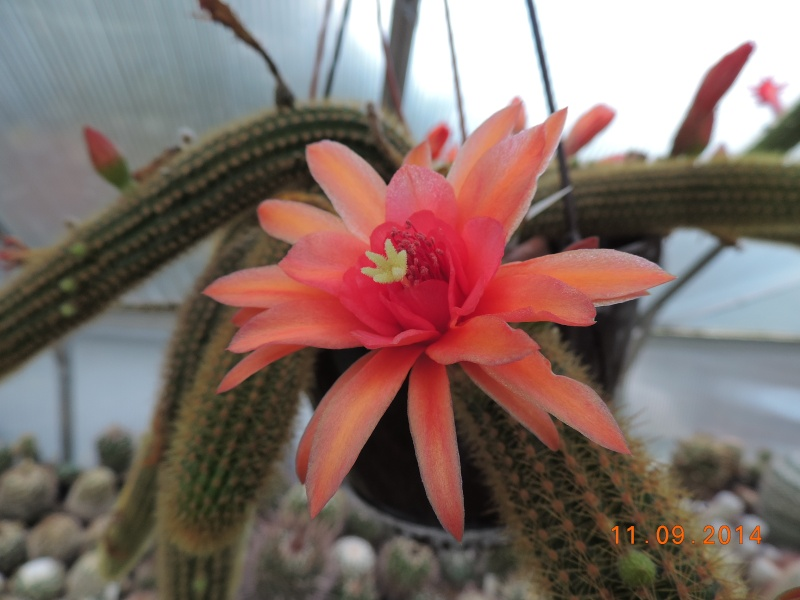 Cacti and Sukkulent in Köln, every day new flowers in the greenhouse Part 107 Bild1427