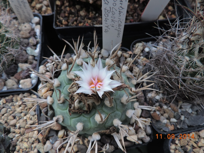 Cacti and Sukkulent in Köln, every day new flowers in the greenhouse Part 107 Bild1429