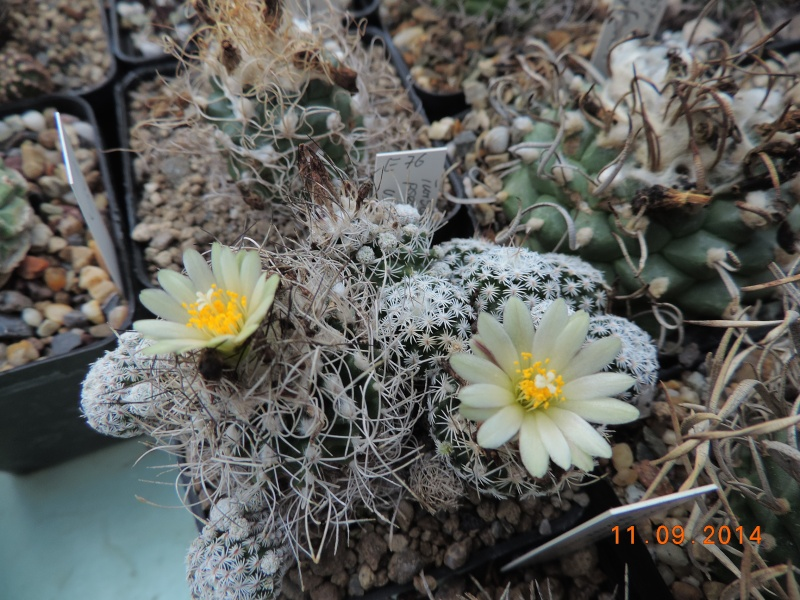 Cacti and Sukkulent in Köln, every day new flowers in the greenhouse Part 107 Bild1430
