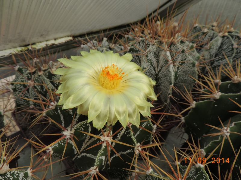 Cacti and Sukkulent in Köln, every day new flowers in the greenhouse Part 107 Bild1435