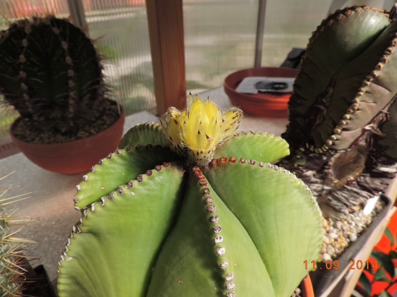 Cacti and Sukkulent in Köln, every day new flowers in the greenhouse Part 107 Bild1436