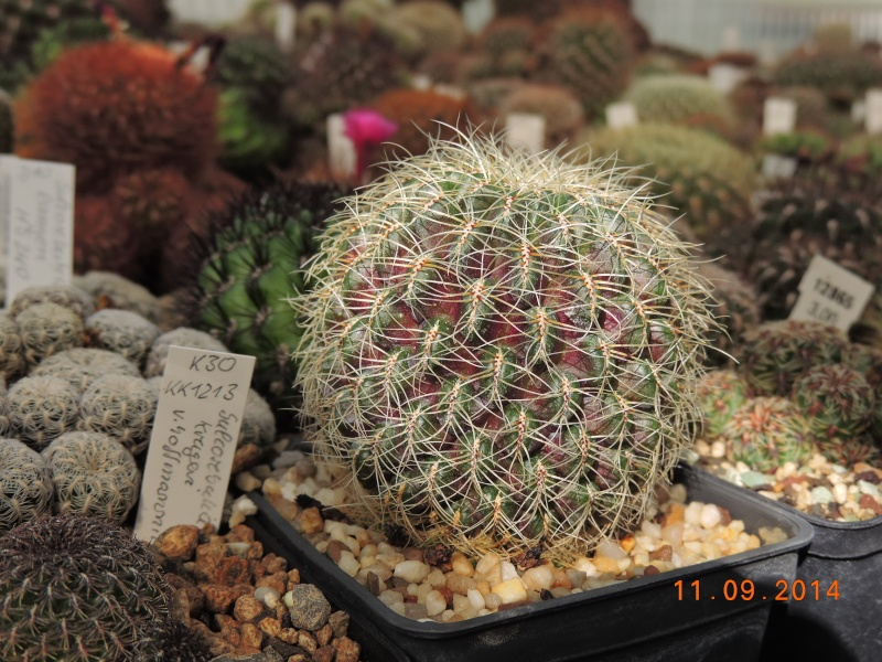 Cacti and Sukkulent in Köln, every day new flowers in the greenhouse Part 107 Bild1447