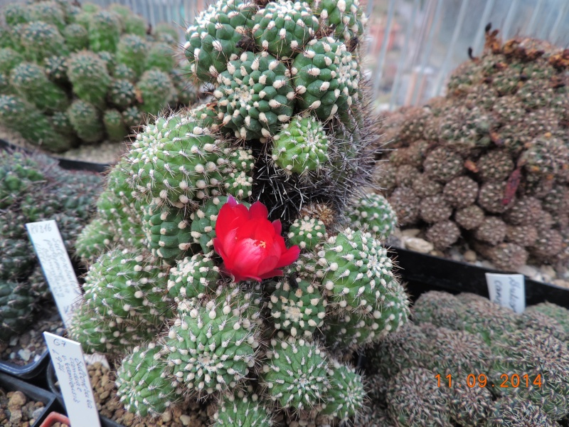 Cacti and Sukkulent in Köln, every day new flowers in the greenhouse Part 107 Bild1448