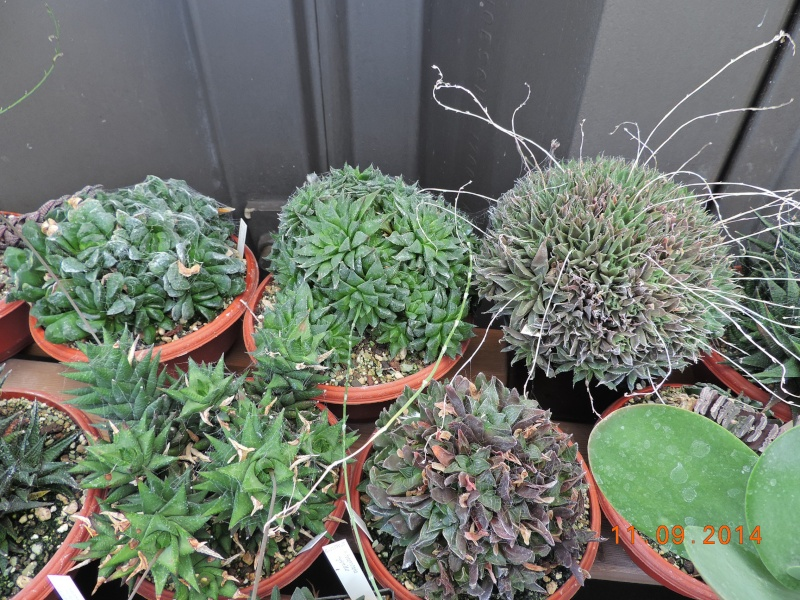 Cacti and Sukkulent in Köln, every day new flowers in the greenhouse Part 107 Bild1453