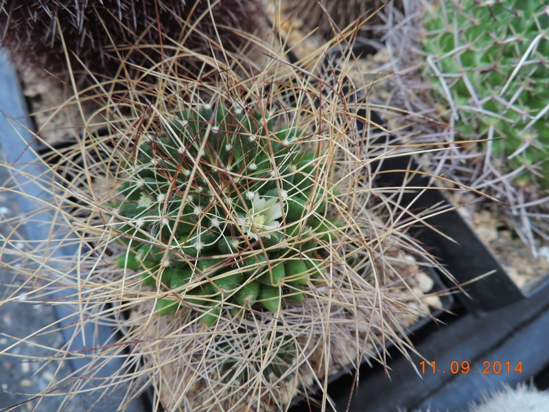 Cacti and Sukkulent in Köln, every day new flowers in the greenhouse Part 107 Bild1454