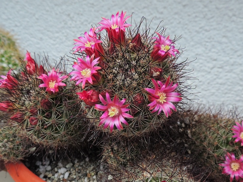 Cacti and Sukkulent in Köln, every day new flowers in the greenhouse Part 107 Bild1456