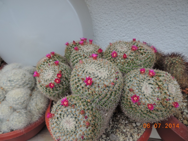 Cacti and Sukkulent in Köln, every day new flowers in the greenhouse Part 107 Bild1457