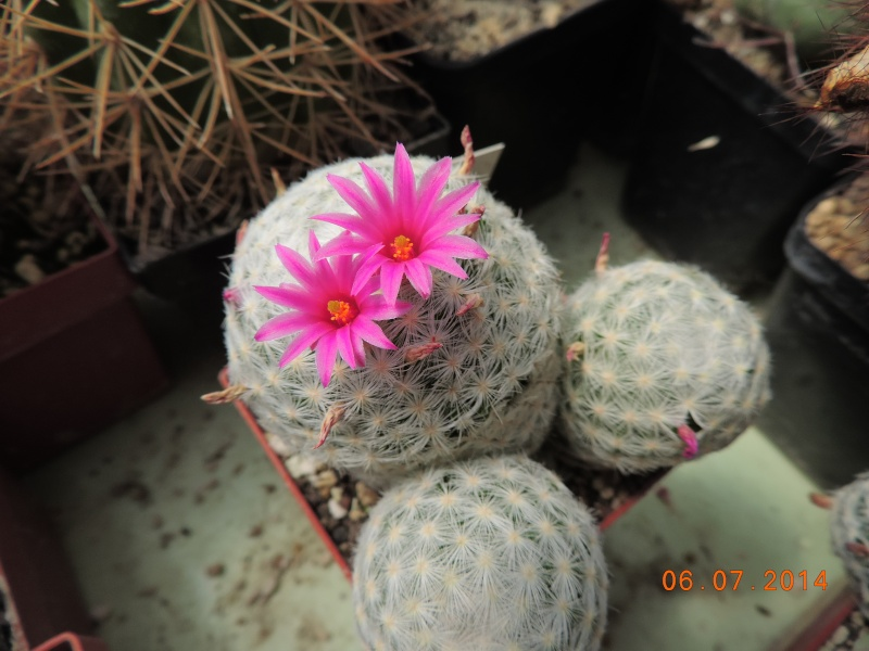 Cacti and Sukkulent in Köln, every day new flowers in the greenhouse Part 107 Bild1460