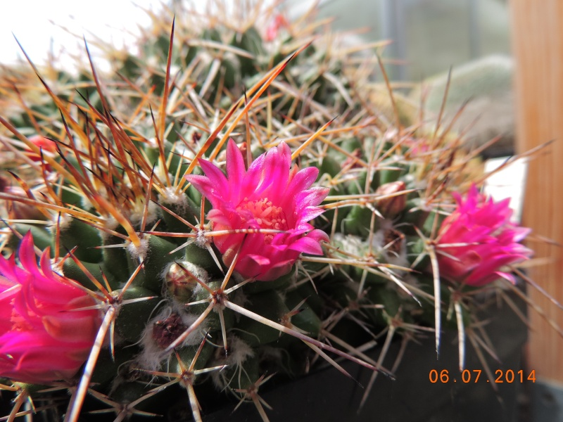 Cacti and Sukkulent in Köln, every day new flowers in the greenhouse Part 107 Bild1461