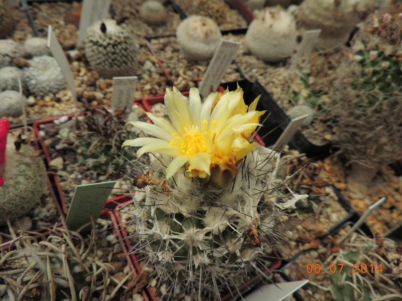 Cacti and Sukkulent in Köln, every day new flowers in the greenhouse Part 107 Bild1463