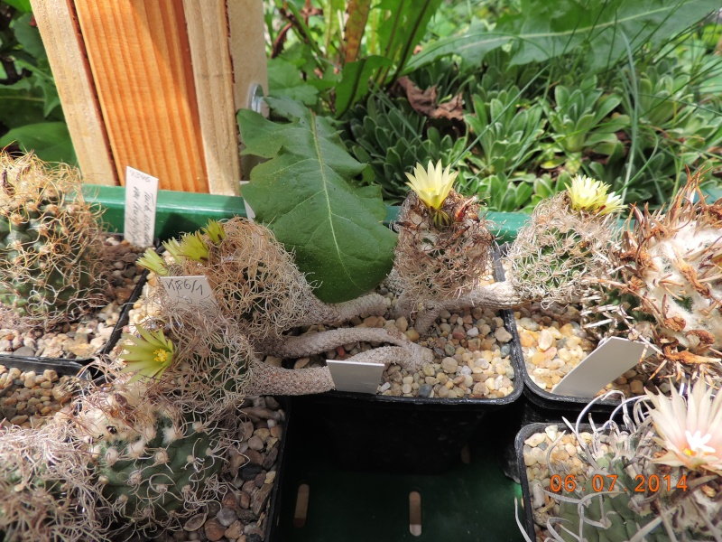 Cacti and Sukkulent in Köln, every day new flowers in the greenhouse Part 107 Bild1466