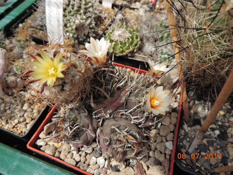 Cacti and Sukkulent in Köln, every day new flowers in the greenhouse Part 107 Bild1467