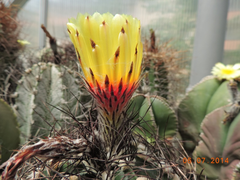 Cacti and Sukkulent in Köln, every day new flowers in the greenhouse Part 107 Bild1470