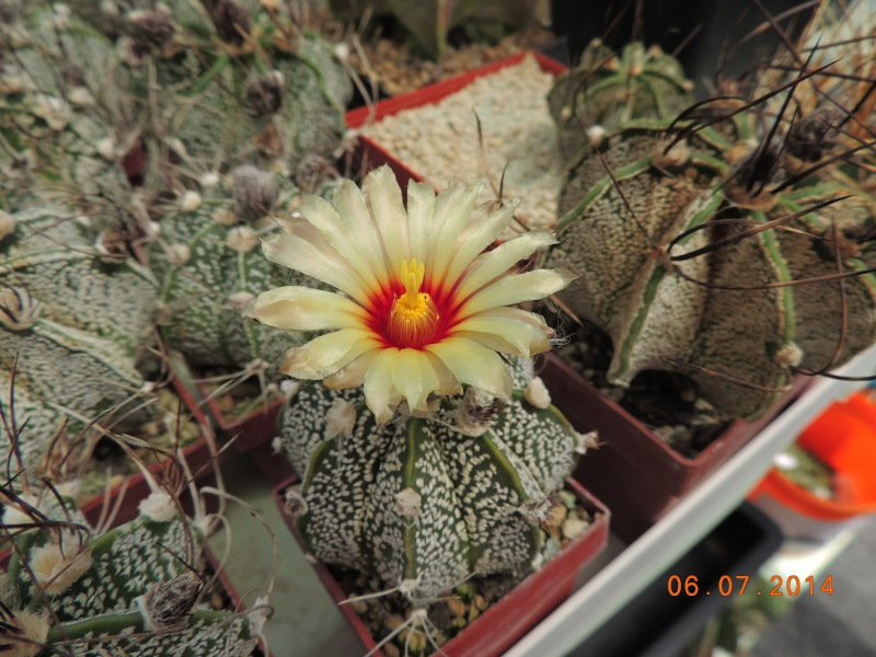 Cacti and Sukkulent in Köln, every day new flowers in the greenhouse Part 107 Bild1471