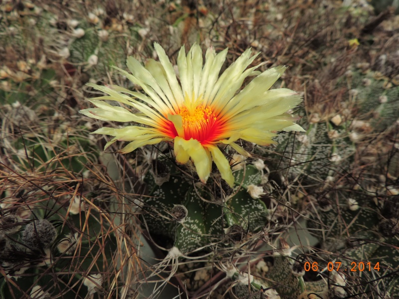 Cacti and Sukkulent in Köln, every day new flowers in the greenhouse Part 107 Bild1472