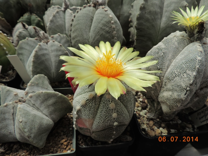 Cacti and Sukkulent in Köln, every day new flowers in the greenhouse Part 107 Bild1475