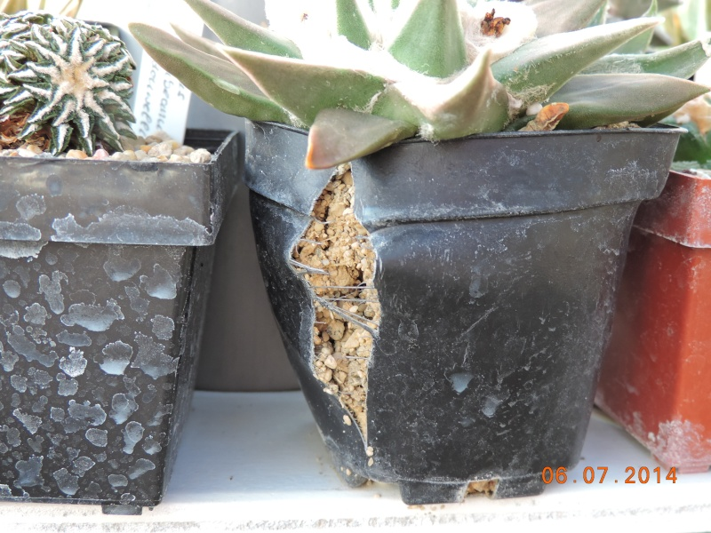 Cacti and Sukkulent in Köln, every day new flowers in the greenhouse Part 107 Bild1482