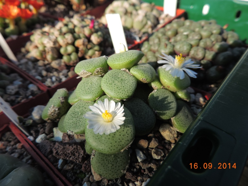 Cacti and Sukkulent in Köln, every day new flowers in the greenhouse Part 107 Bild1483