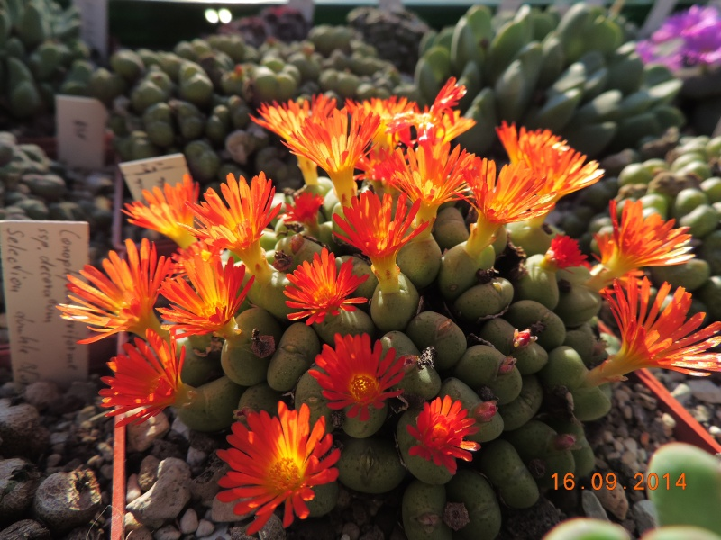 Cacti and Sukkulent in Köln, every day new flowers in the greenhouse Part 107 Bild1484