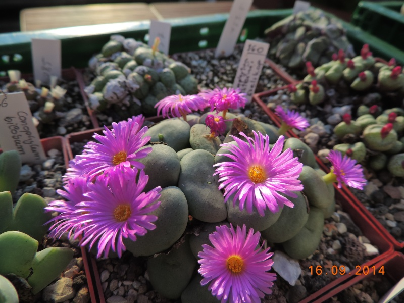 Cacti and Sukkulent in Köln, every day new flowers in the greenhouse Part 107 Bild1485