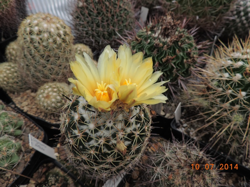 Cacti and Sukkulent in Köln, every day new flowers in the greenhouse Part 108 Bild1511