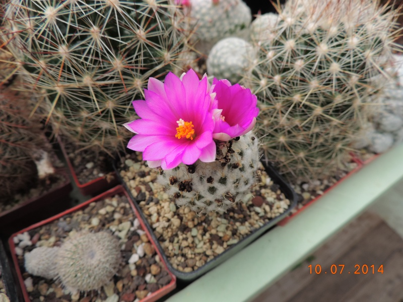 Cacti and Sukkulent in Köln, every day new flowers in the greenhouse Part 108 Bild1515