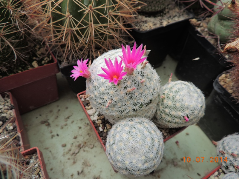 Cacti and Sukkulent in Köln, every day new flowers in the greenhouse Part 108 Bild1516
