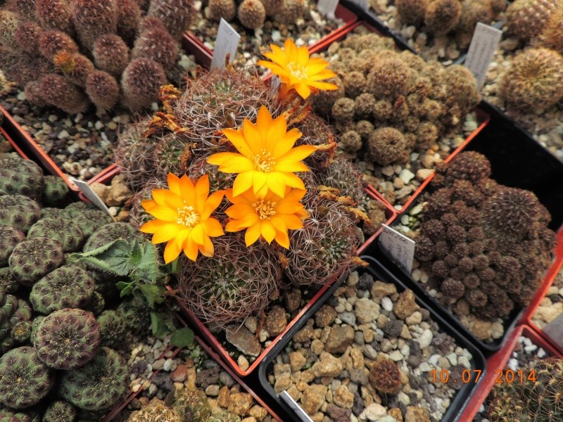 Cacti and Sukkulent in Köln, every day new flowers in the greenhouse Part 108 Bild1520