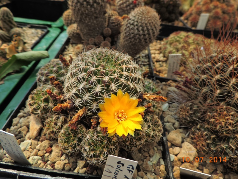 Cacti and Sukkulent in Köln, every day new flowers in the greenhouse Part 108 Bild1521