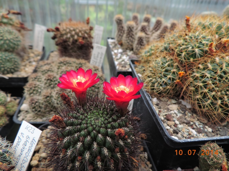 Cacti and Sukkulent in Köln, every day new flowers in the greenhouse Part 108 Bild1522