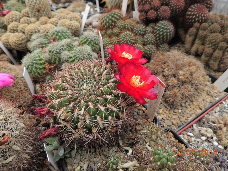 Cacti and Sukkulent in Köln, every day new flowers in the greenhouse Part 108 Bild1523