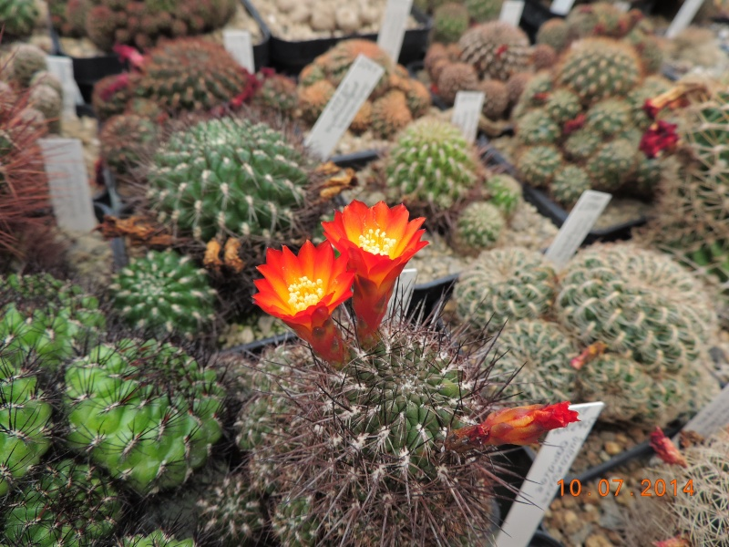 Cacti and Sukkulent in Köln, every day new flowers in the greenhouse Part 108 Bild1524