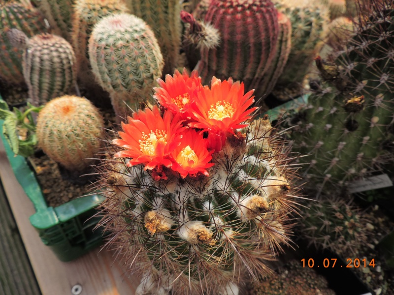 Cacti and Sukkulent in Köln, every day new flowers in the greenhouse Part 108 Bild1526