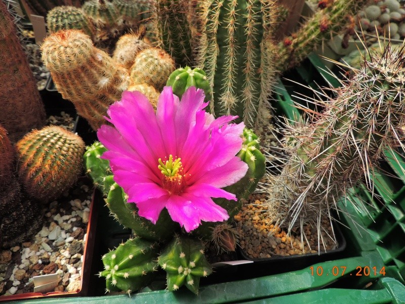 Cacti and Sukkulent in Köln, every day new flowers in the greenhouse Part 108 Bild1527