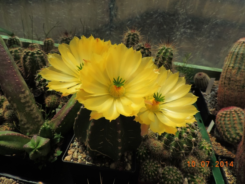 Cacti and Sukkulent in Köln, every day new flowers in the greenhouse Part 108 Bild1528
