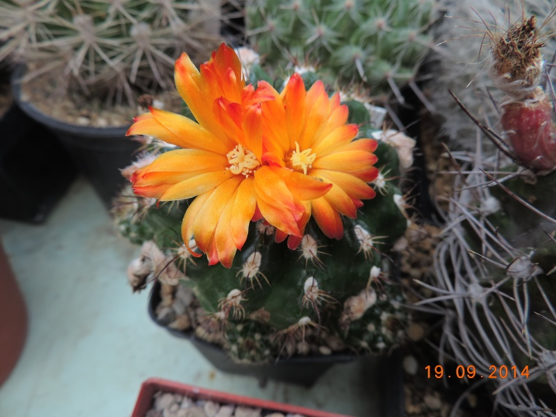 Cacti and Sukkulent in Köln, every day new flowers in the greenhouse Part 108 Bild1540