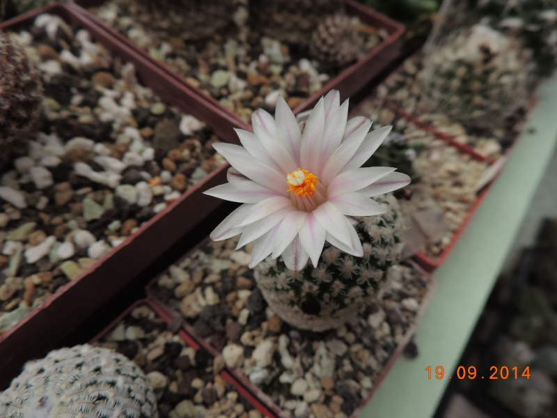 Cacti and Sukkulent in Köln, every day new flowers in the greenhouse Part 108 Bild1544