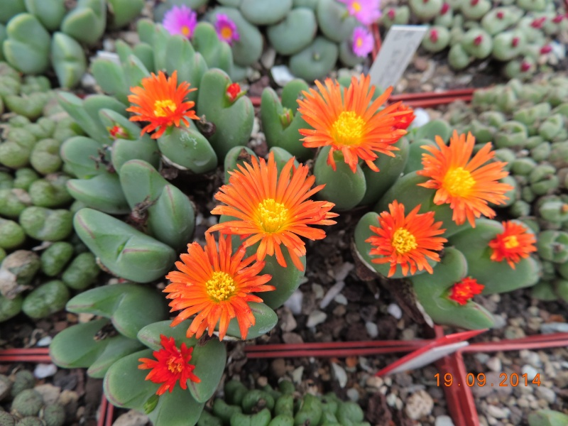 Cacti and Sukkulent in Köln, every day new flowers in the greenhouse Part 108 Bild1553