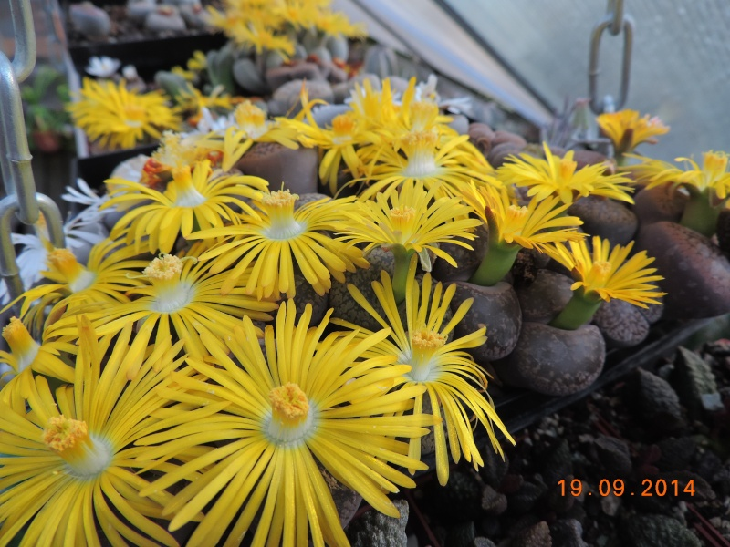 Cacti and Sukkulent in Köln, every day new flowers in the greenhouse Part 108 Bild1561