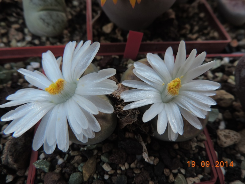 Cacti and Sukkulent in Köln, every day new flowers in the greenhouse Part 108 Bild1563