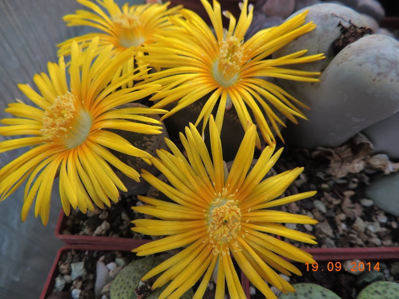 Cacti and Sukkulent in Köln, every day new flowers in the greenhouse Part 108 Bild1564
