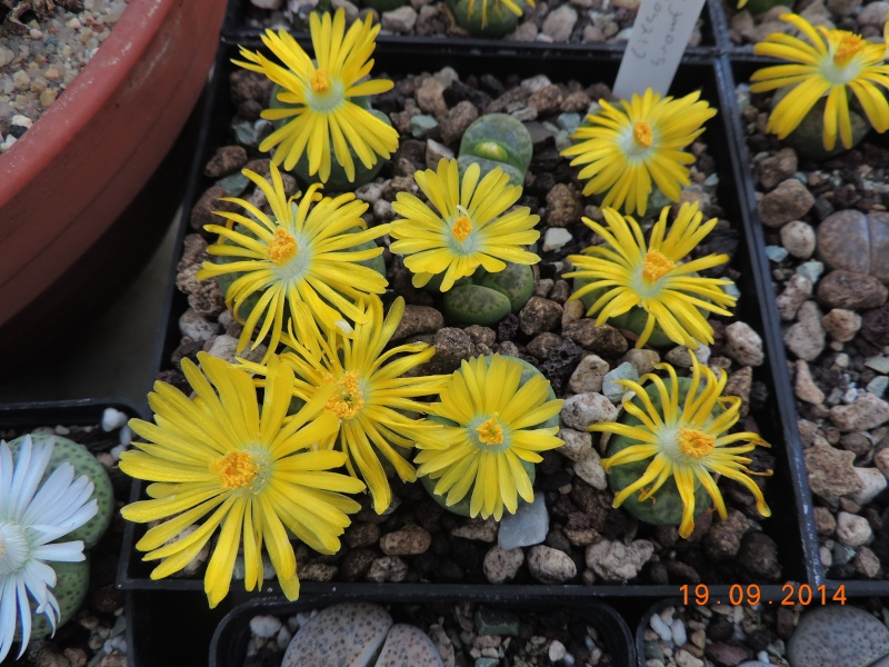 Cacti and Sukkulent in Köln, every day new flowers in the greenhouse Part 108 Bild1567