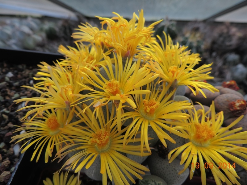 Cacti and Sukkulent in Köln, every day new flowers in the greenhouse Part 108 Bild1569