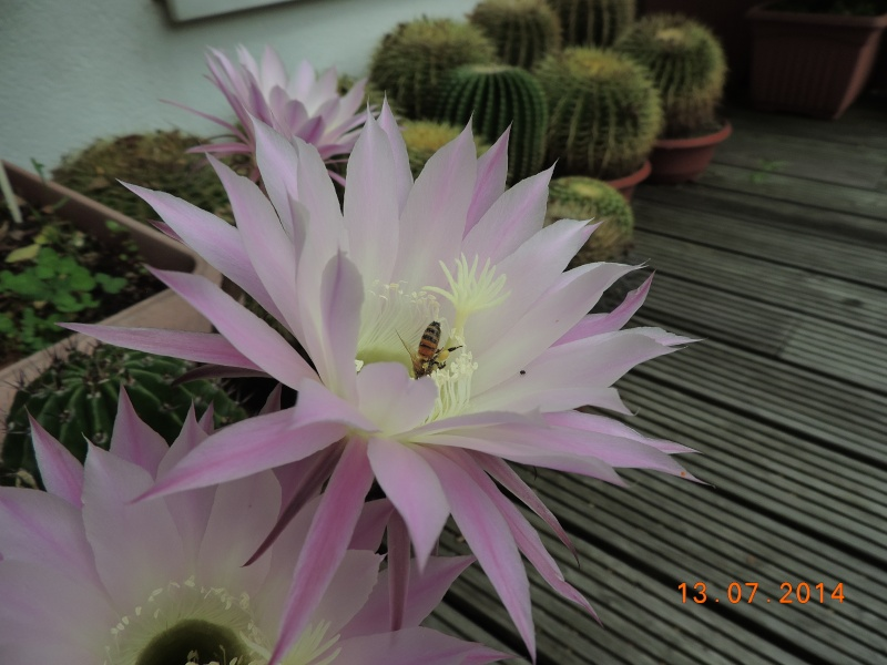 Cacti and Sukkulent in Köln, every day new flowers in the greenhouse Part 108 Bild1573